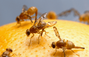 Fruit Fly Pest Control Advice