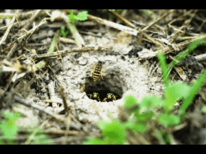 ground nest bees