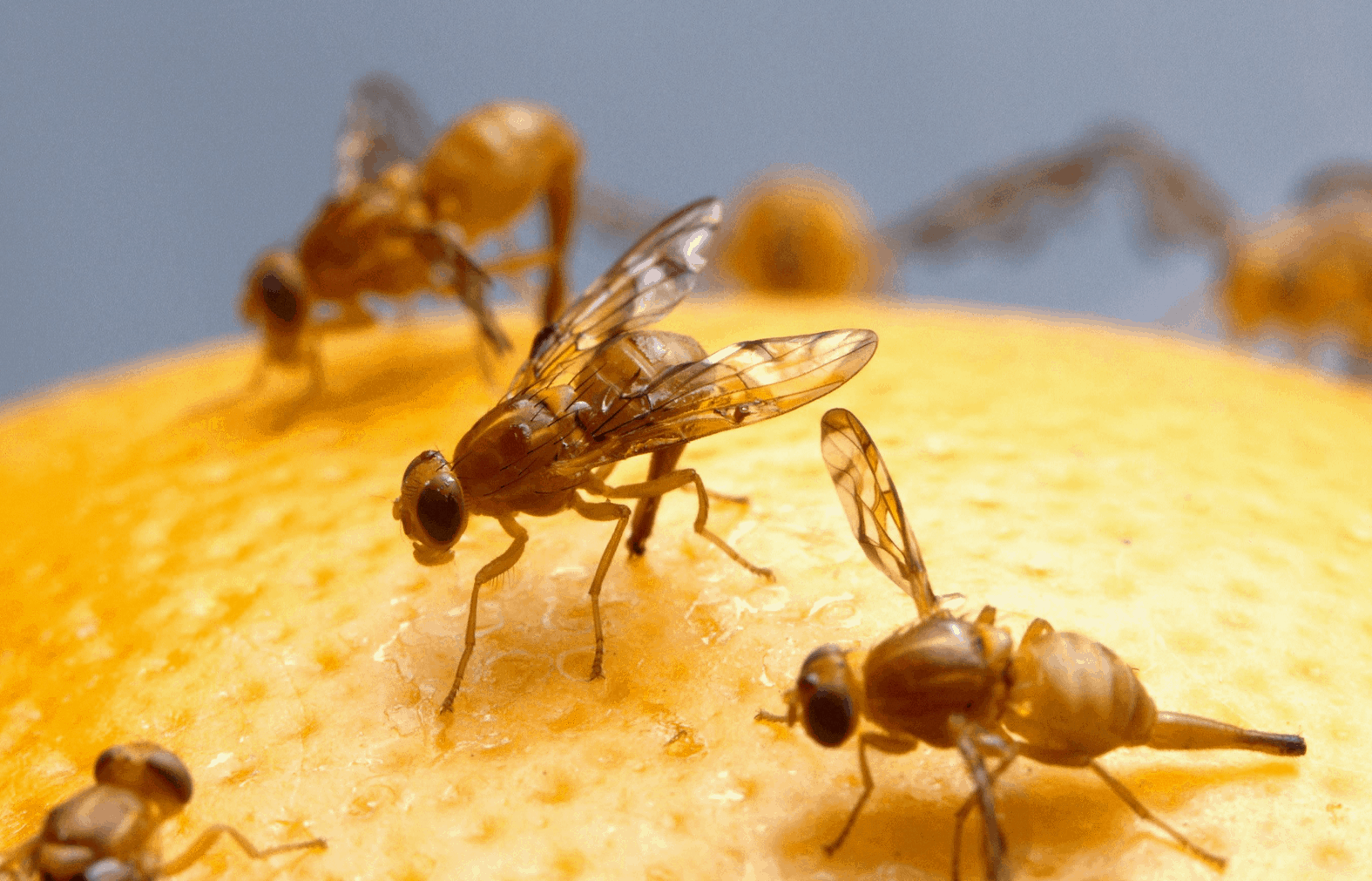 Fruit Flies Pest Control Advice