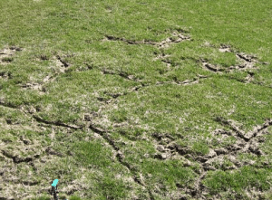 Mole Lawn Damage