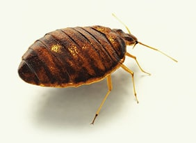 Bed Bug Exterminator Rochester Ny Bed Bug Pest Control Treatment