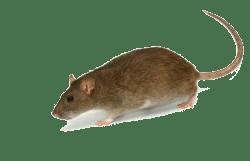 rat crawling around