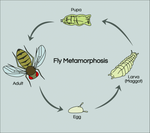 fruit fly metamorphosis life cycle diagram