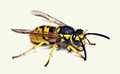 wasp exterminators