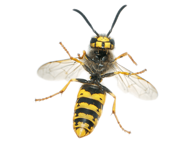 Yellow Jacket / Wasps