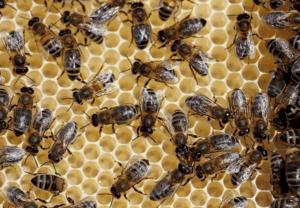 honey bees rochester ny