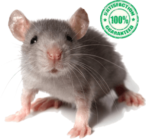 mouse needing extermination in Geneva, NY