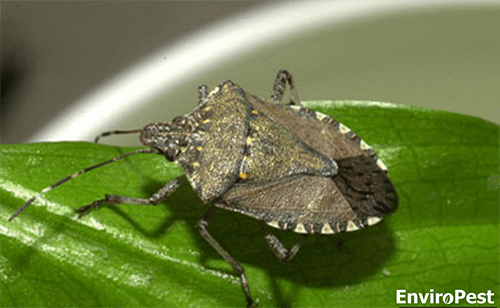 Stink Bugs Invade Homes