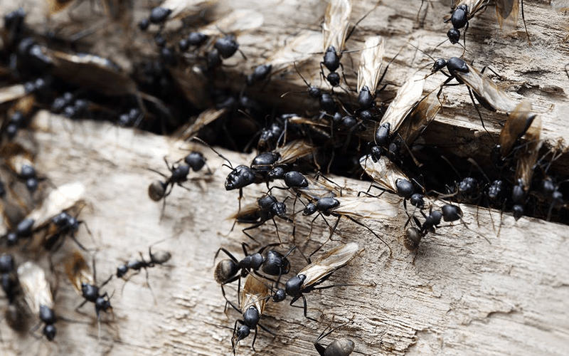 ants invade home