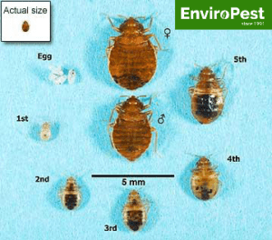 size chart for different stages in a bed bugs life