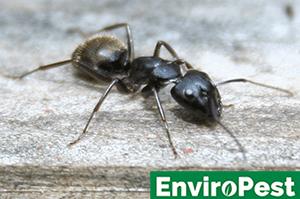 Carpenter ant needing extermination in Canandaigua