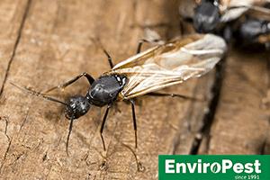 Carpenter Ant infesting home in Geneva NY