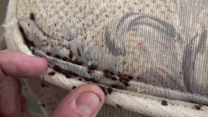 bed bugs in seam of mattress