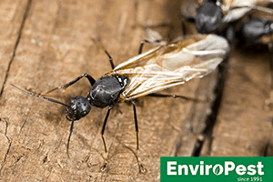carpenter ants needing to be eliminated in Ithaca