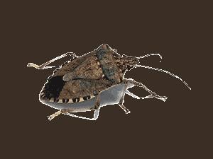 stinkbug exterminator