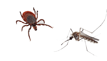 mosquito and a tick