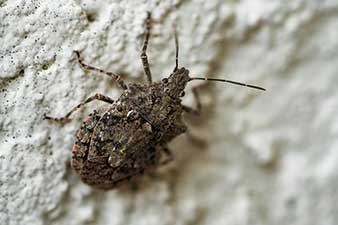 Stink Bug on an interior wall