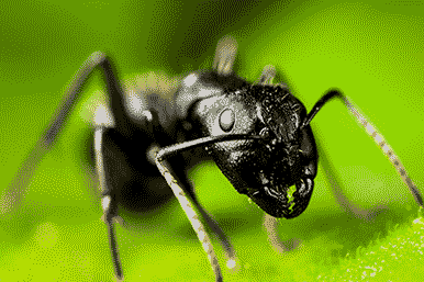 a good look at a carpenter ant