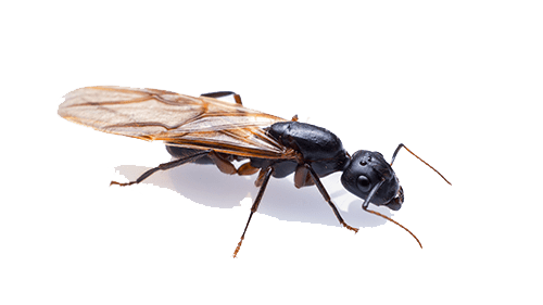 flying carpenter ant