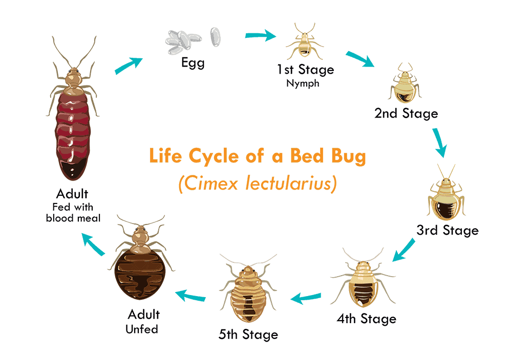 Bed-Bug-Stages