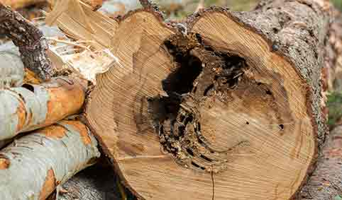 damage to a tree from Carpenter Ants