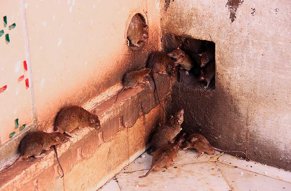 rats going into hole in wall