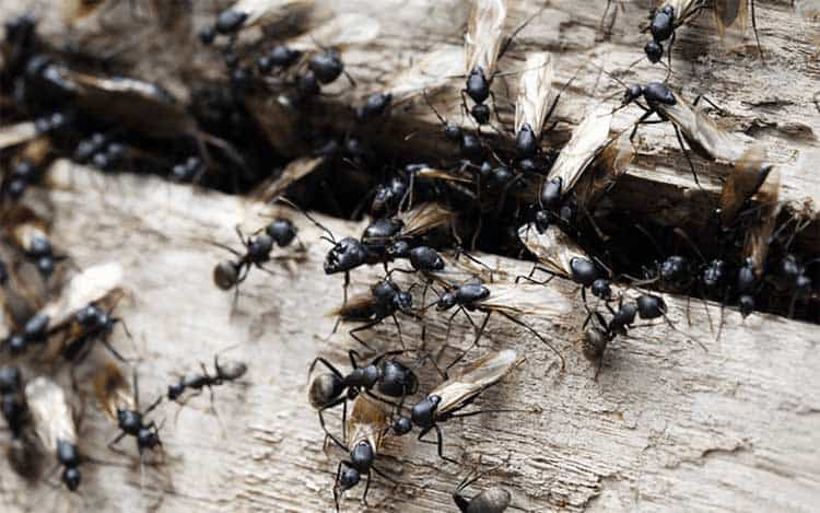 ants destroying wood