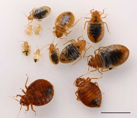 bed bugs at different stages of their life cycle