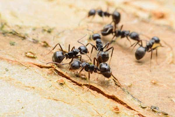 carpenter ants damaging a home