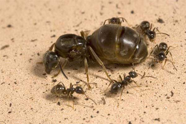 Carpenter Ant queen surrounded by other ants