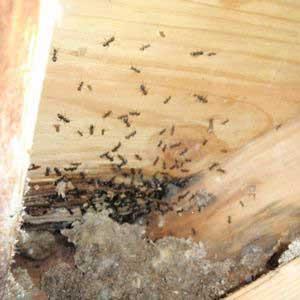 Carpenter Ants damaging underside of roof