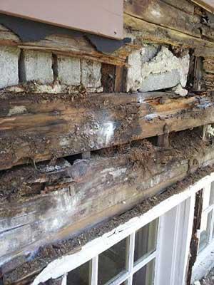 Carpenter Ant damage to a window header