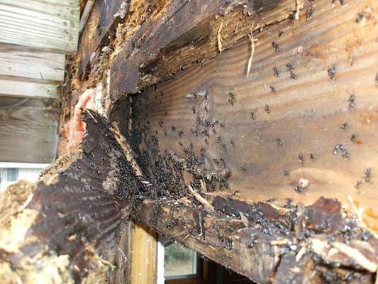 carpenter ants destroying wood framing
