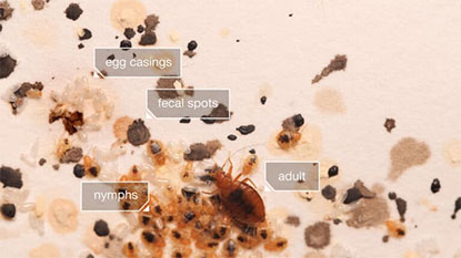 bed bug shells and casing up close