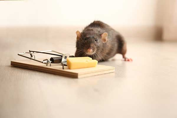 rat sniffing cheese in a trap