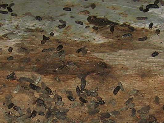 rat feces left in hiding space