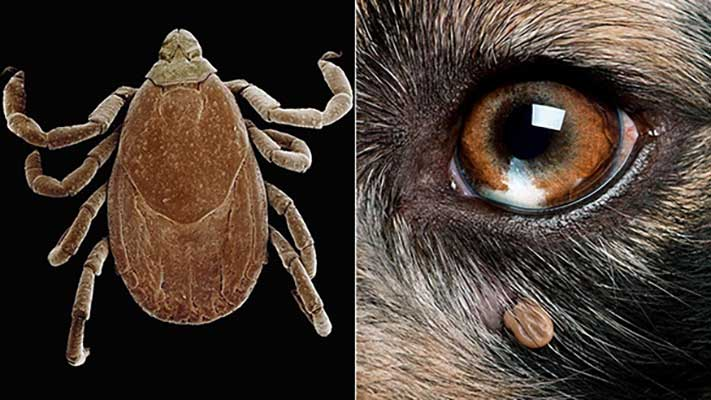 tick up close ; tick embedded on face of dog