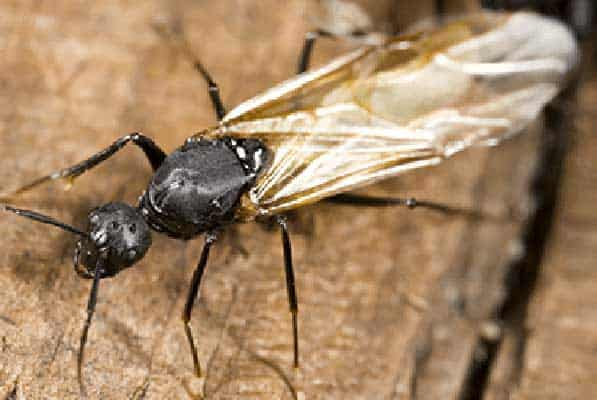carpenter ant with wings